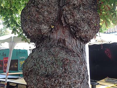 L'arbre à Nonette