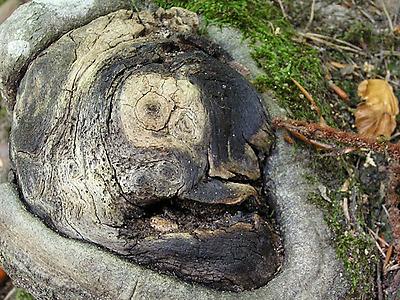 Le Rejet d'arbre au Guirbaden
